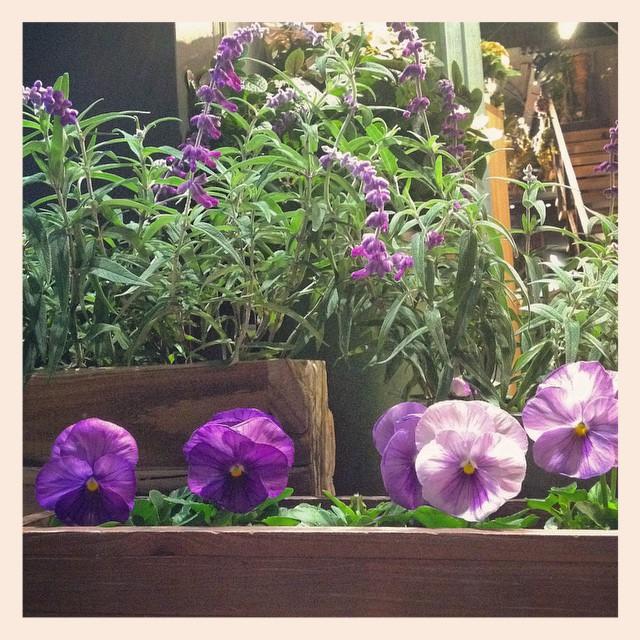 この季節がやってきましたね。かわいいパンジーやビオラの苗が入荷致しました当店のイメージカラー、ムラサキのお花が豊富です