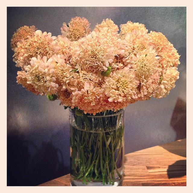 優しいオレンジ色のスカビオサスカビオサはファンがとても多い、キュートなお花です。今から春にかけて、たくさん入荷いたします!#スカビオサ
