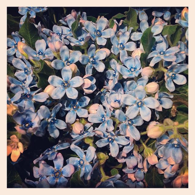 """土佐からやってきた、新品種のブルースター""""エンジェル""""お花が大きく、とても素敵な水色です"""