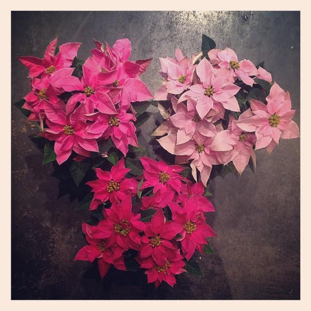 #プリンセチア ポインセチアに比べるとお花保ちがとても良いそう。色んなポインセチアが入荷しております