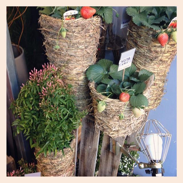 鉢花いろいろ入荷しております!#イチゴ