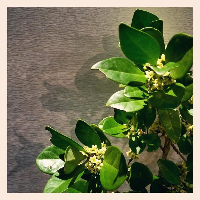 #モチノキ香りが強く、店内がモチノキの香りで充満してます。春を感じる甘い香りです。