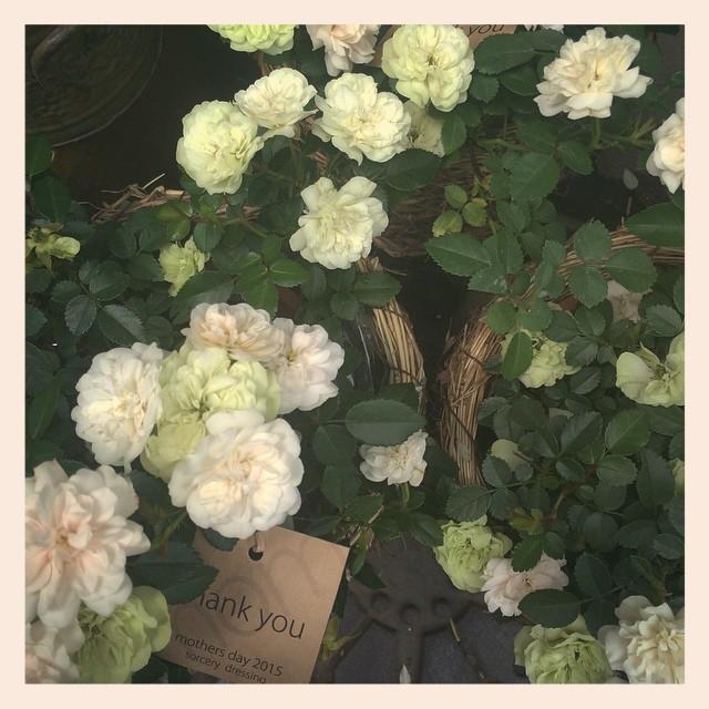"""バラ""""グリーンアイズ""""ピンクからグリーンへ色が変化します。花付きも良く育てやすいバラです"""