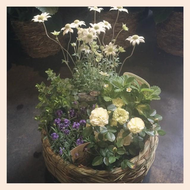 """母の日のギフト。まだまだ、受け付けております。フランネルフラワー、ワイルドストロベリー、オレガノ、バラ""""グリーンアイズ""""、ラベンダーの苗の寄せ合わせが今日から店頭に並んでます。¥4,000(税別)植物が大好きな方への贈り物にとてもオススメです!香りも癒されます"""
