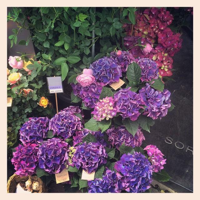 素敵なアジサイアジサイは花のもちも良く、育て易いので来年もお花をつけやすいため、とても人気です!