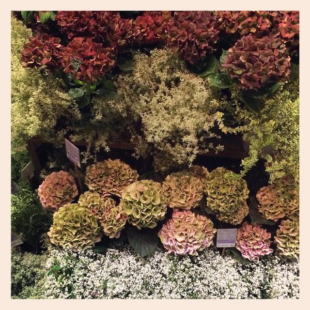 明後日は父の日です 渋いあじさいや変わった植物がたくさん入荷しております。男性への贈り物におすすめです