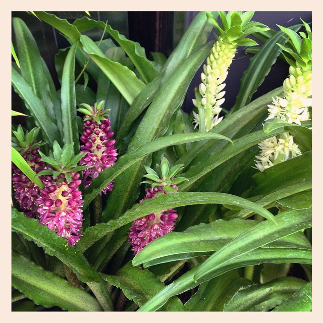 市場にて観葉植物の品評会がございました。それに伴い、本日、大小様々な観葉植物が入荷しました。ぜひ覗いてみて下さい写真は#パイナップルリリー