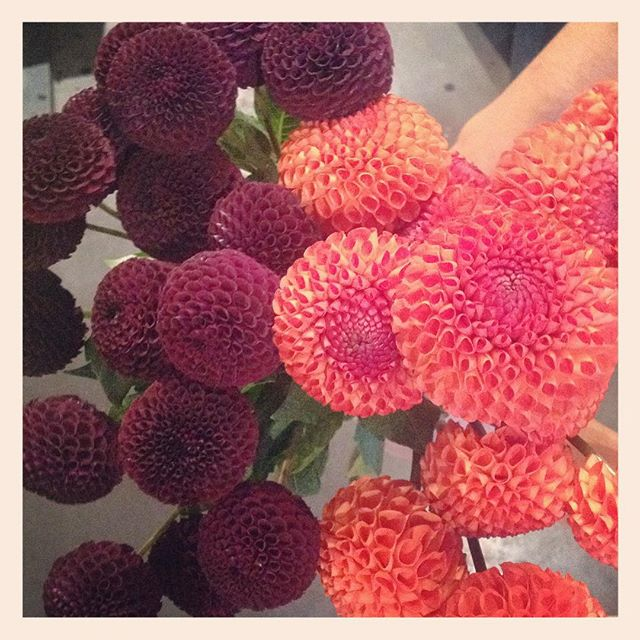 長野県、紀子の花のオーガニック栽培で育った、まん丸かわいいダリアが今日のおすすめです️