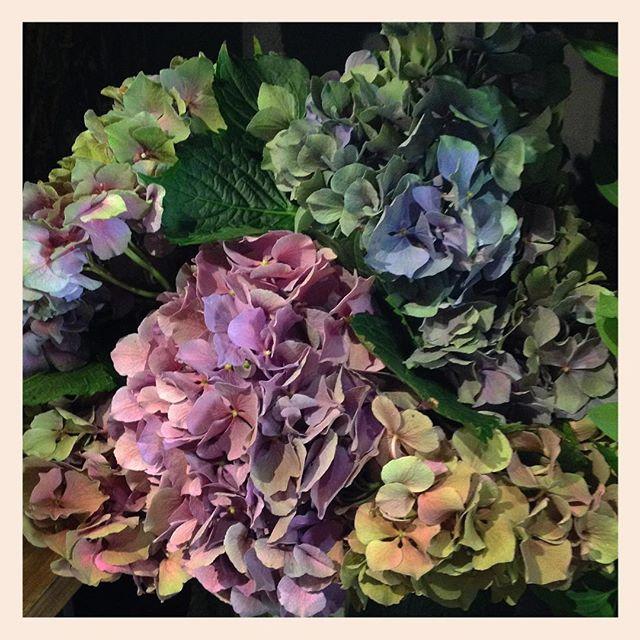 紫陽花たくさん入荷しました#hydrangea