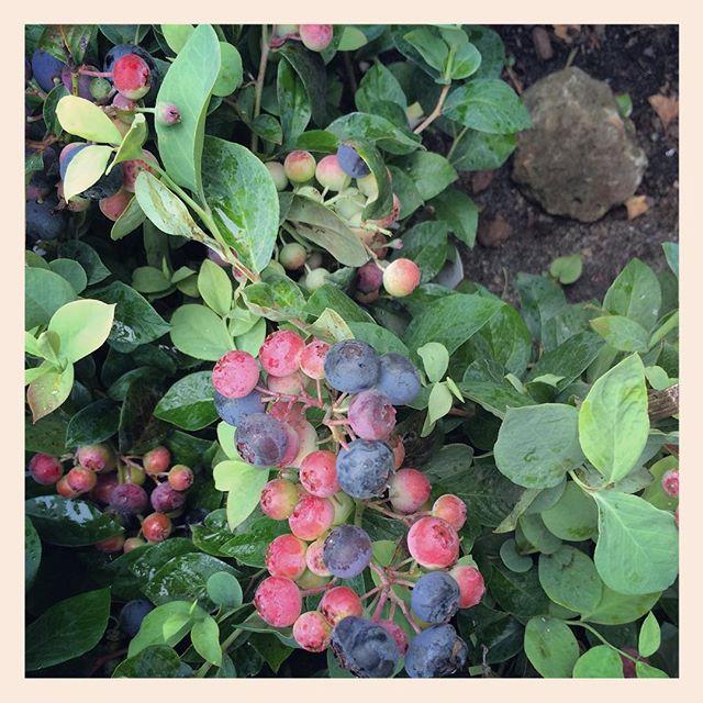 #ブルーベリー小さな株に大粒の実をたわわに実らせている姿がかわいい