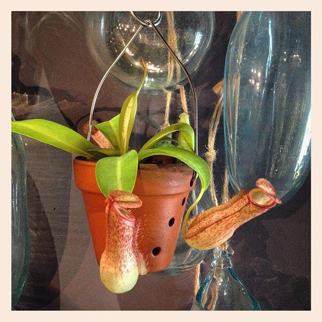 新しい鉢もの入荷しました手のひらサイズのポットに入った小さなネペンテス。不思議な形で人気者¥1,500(税別)