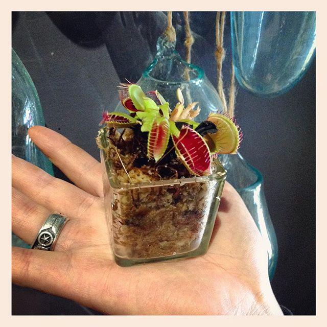 こちらも手のひらサイズのハエトリソウ。ガラスの器に受け変えてあります。虫の与え過ぎに注意!