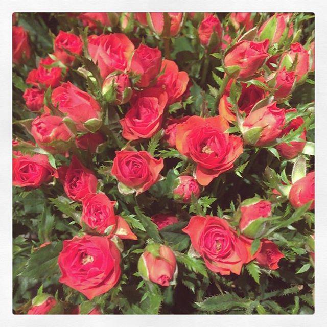 写真だと分かりづらいのですが、小指位の小さな小さなバラ。今日はお花の入荷日です。店内ガラッと秋色に変わってますこの位の気温ならお花保ちが良くなります。コーヒーを買うくらいの気軽さでぜひお花を見に来て下さい