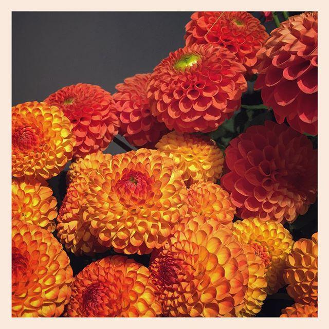 """コロンとしたポンポンダリア。""""マーマレード""""長野県の紀子の花。オーガニック栽培ですかわいいだけじゃなく、花もちもバツグンです️"""