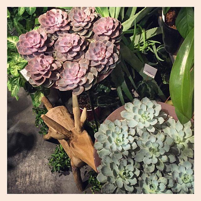 観葉植物、花ものの苗、ドライフラワー、エアプランツ多数入荷してます!写真は二階に並んでいる、エケベリア。ひとつずつ根の生えていない状態で販売しております。土がついていないので、どんなところでも飾れます土の上に置いておくと自然と根をはります。色も形も美しい!ぜひご覧下さい