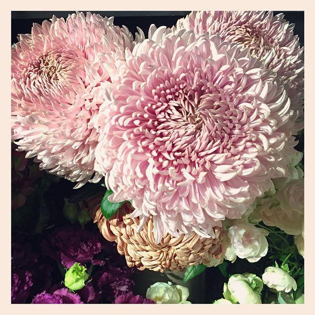 """秋は菊が旬です。菊の名産地飛騨高山の、手のひらより大きな菊、""""レオン""""ダリアなみの大きさと存在感ですが、色は淡く優しいピンクがかったむらさき色️今しか入らない旬なお花です。ぜひ見に来てください"""