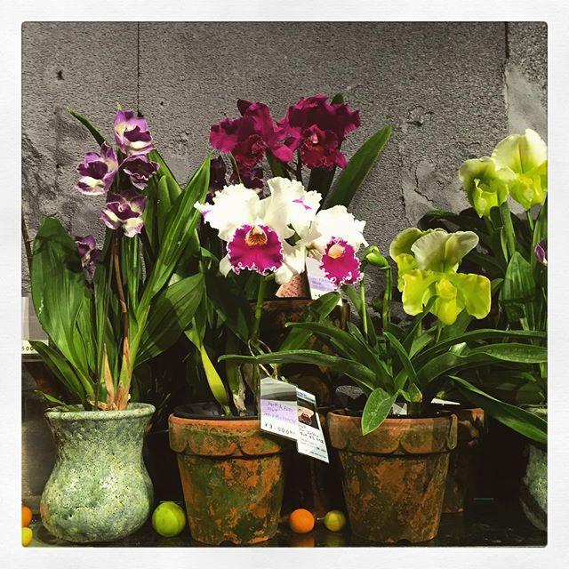 左から、#ジゴニシア #カトレア #パフィオペディラム全て蘭の仲間。胡蝶蘭はお祝いでの贈り物のイメージが強くありますが、こういった可憐な蘭はお誕生日など普段の贈り物にもおすすめアンティークな風合いの水色の鉢や、モスポットが更に個性的な印象にしてくれます