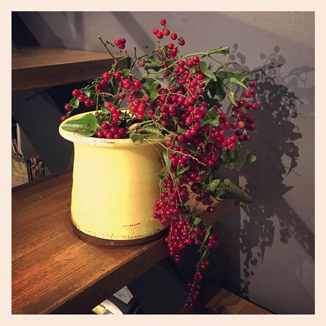 #イタリアンベリー は、品質が不安定な植物。写真の様に、鮮やかな赤で実付きの良いものが出回るのは一瞬。本当に今が旬な植物ですクリスマスの飾りにもぴったり