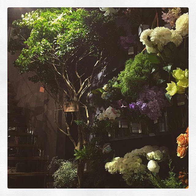 店内に、高さ3mほどの大きな#アセボ の木がはえました枝ぶり、葉の色共にとってもかっこよく雰囲気のある人気の枝物