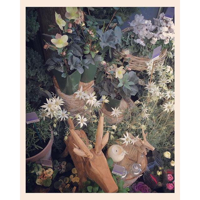 店外の花の苗ものがたくさん入荷致しました。#フランネルフラワー #クリスマスローズ #シクラメン #ハーブ などかわいい苗ものがたくさんです