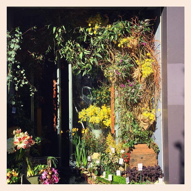 エントランス。模様替えしました。#ハーデンベルギア と #エニシダ のアーチ。少し早い春です