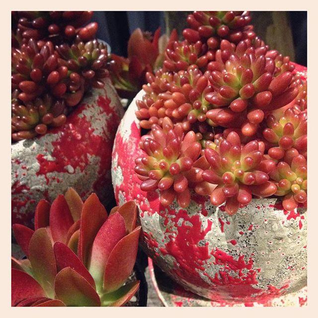 赤い、#多肉植物 入荷しております。写真は、#セダム #虹の玉と、#クラッスラ #火祭 です。