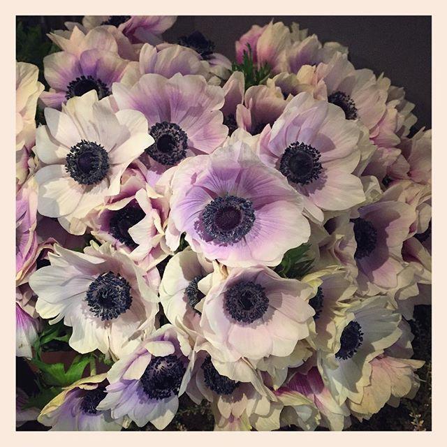 """本日は市場の初市でした。新しいお花入荷しております太田市場は世界で第3位の規模の生花の市場です。日本中、世界中からたくさんの花が集まる場所。そんな活気のある市場から、毎週月、水、金曜は切り花、火、木、土曜は鉢物を仕入れています。見たことのない植物がまだまだたくさんあります。そんな植物を身近に感じてもらい、見慣れたお花も、新鮮に感じるようなご紹介ができればと思います今年もどうぞよろしくお願いいたします🌲 写真は信州の生産者、スピリットの#アネモネ """"ポルト""""です"""