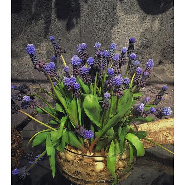 ブドウの様な色と形、プードルの様な咲き方が個性的な球根付きのムスカリ方が入荷致しました今咲いているお花が終わっても、球根をとっておいて、うまくいけばまた来年お花が咲きます️ 球根系のお花は今が旬です。店頭にもたくさん並んでおります。ご来店お待ちしております