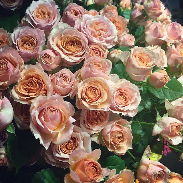 """アンティークな雰囲気のスプレーバラ""""ミスティックサクラ""""ピンクのつぼみが、咲くにつれて優しいオレンジ色を帯びてきます"""