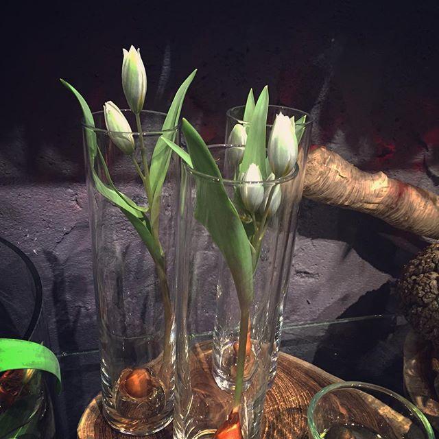 """球根付きチューリップ""""ポリクロマ""""原種のチューリップで、お花がとっても小さくて、色もとっても絶妙。開くと違う色が出てきます…#ポリクロマ2016.02.21"""