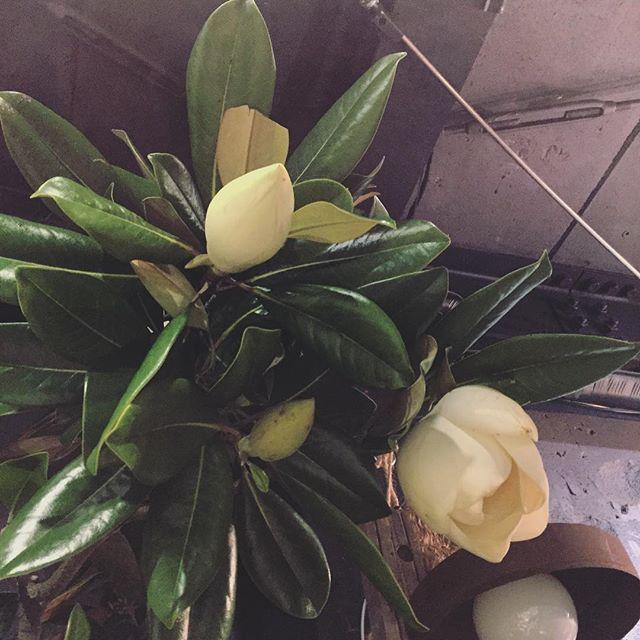 マグノリア。開くと人の顔位大きくなります。爽やかな香りと裏表色の違う葉も魅力的。