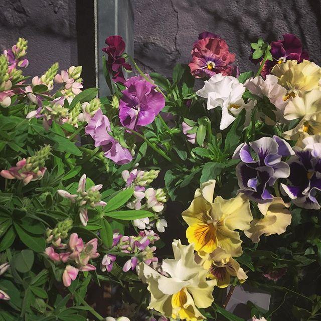 春のお花は、ミックスカラーで入荷するものが多いです。写真は、ルピナスとパンジー。アネモネやポピー、スカビオサなどもミックスで入荷する人気者同じお花でいろんな色を混ぜて…