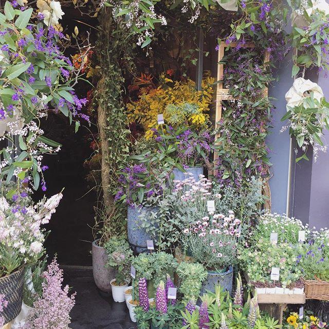 お店の入り口。吊るされている紫と白いツル状のお花は毎年店頭を彩ってくれる、ハーデンベルギア。常緑で花期も長く、人気の鉢花です。贈り物にされる方もいらっしゃいます。春のお花、ミモザが店内からあふれています今日は暖かいので扉を全開にしています!ご来店お待ちしております