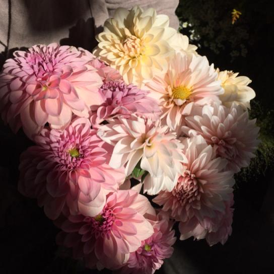 昨日が年内最後の市場でした。ダリアやラナンキュラス、スカビオサなどいつものお花が勢ぞろいしています南天や松と一緒にお正月のお花として楽しんでいただけます。写真は産地さん試作品のダリア2種とティアラ→お正月におすすめな白いダリアと大きなスカビオサミモザ→人気のムラサキ系のラナンキュラスやスカビオサ→ワスレナグサ夕方は少し混み合うかと思います。早めか遅い時間ですとゆっくり選んでいただけるかと思います本日は21時半まで営業致します。ご来店お待ちしております。