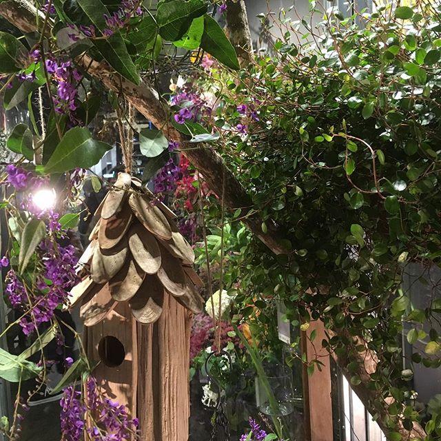 ハーデンベルギア、定番の植物ですが、当店では欠かせない植物です!
