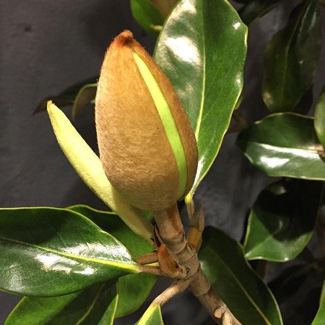 店頭にある泰山木リトルジェム🌲少しだけ蕾が割れてきました️蕾のモフモフがなんとも可愛らしい