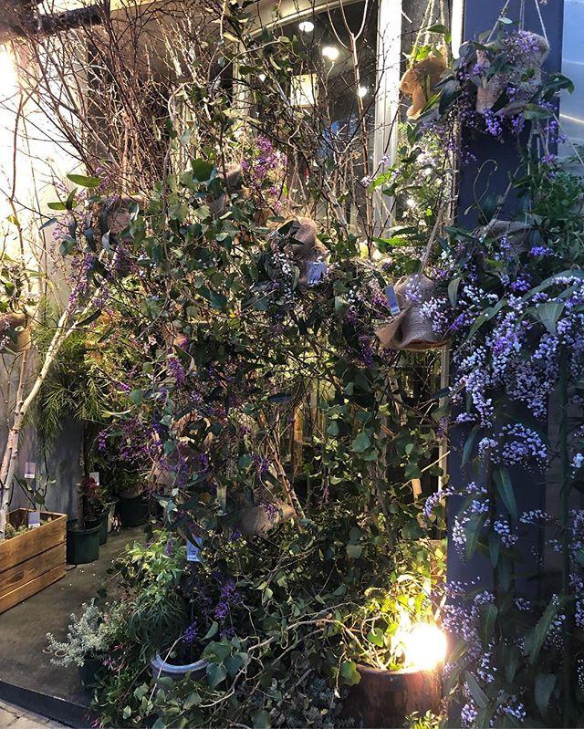 この時期、毎年店頭を賑やかしてくれるハーデンベルギア。今年も満開です#sorcerydressing #ソーセリードレッシング #Hardenbergia #ハーデンベルギア