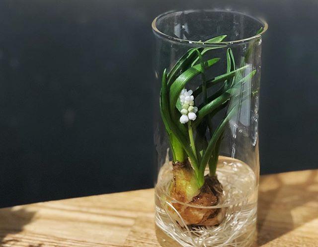 小さな球根付きのムスカリとヒヤシンス。綺麗なガラスの器とセットで店頭に並んでいます。#sorcerydressing #ソーセリードレッシング #muscari #ムスカリ #hyacinth #ヒヤシンス #水耕栽培