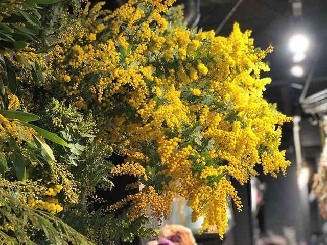 ミモザ、多種並んでおります。香りも良く、ドライフラワーにも最適です。#sorcerydressing #ソーセリードレッシング #mimosa #ミモザ