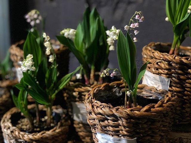5月1日すずらんの日小さな鉢植えが入荷しております。#SORCERYDRESSING #ソーセリードレッシング #lillyofthevalley #すずらん