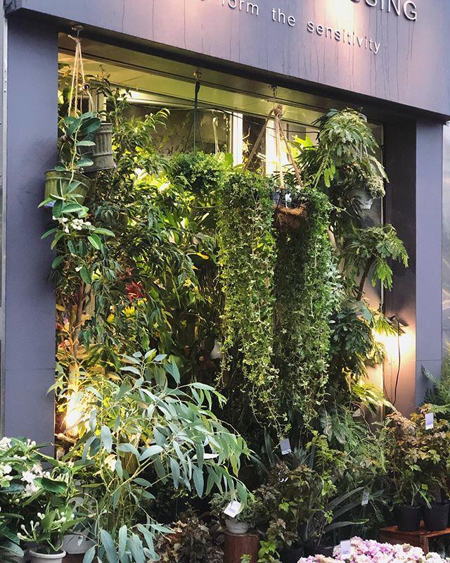 市場にて年に1度開催される、インドアプランツコンテストにて受賞した観葉植物がたくさん入荷し、店頭入り口はジャングルとなりました質のいいもの、形や仕立ての美しいものなど、今後は入荷困難であろう植物がたくさん並んでます。